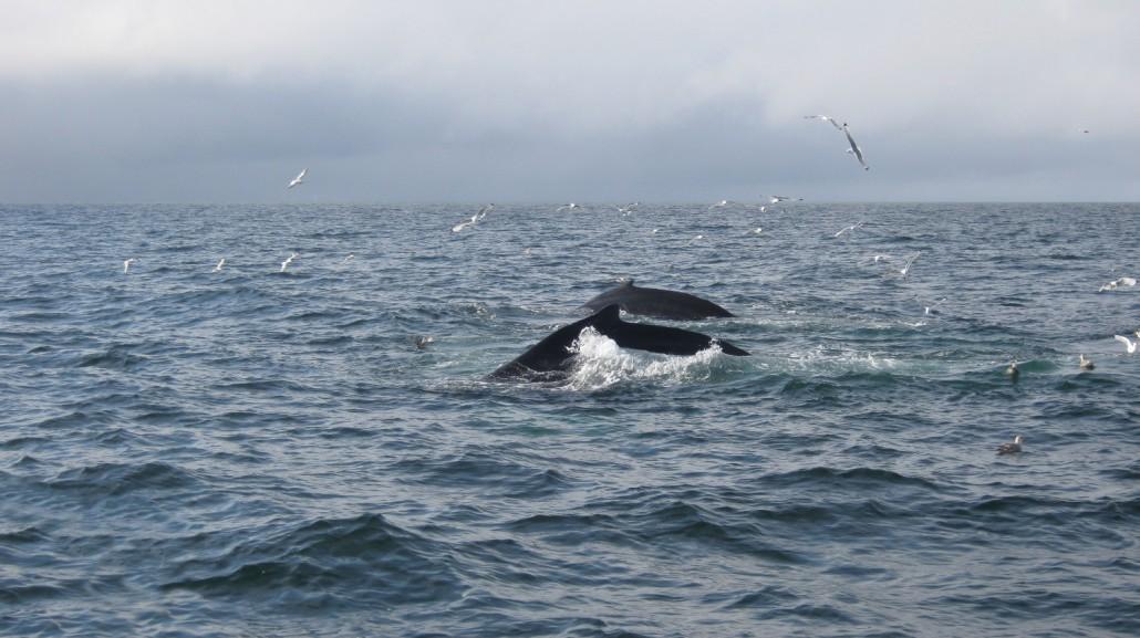 Wale / Bäreninsel